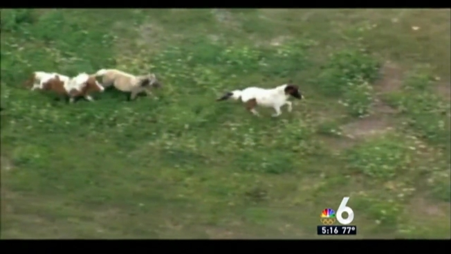 ponies back home after running free near turnpike in nw miami dade