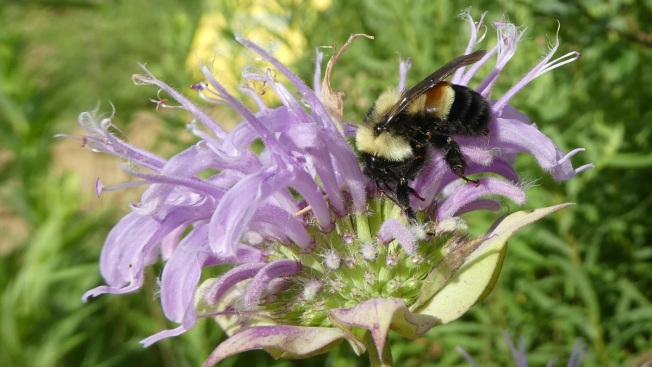 Rusty Patched Bumblebee Joins Endangered Species List