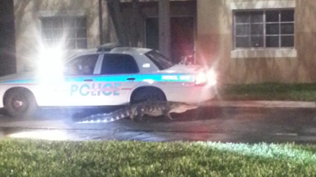 8-Foot Alligator Found Roaming in Homestead Community
