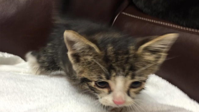 Kitten Rescued From Expressway Storm Drain: MDFR
