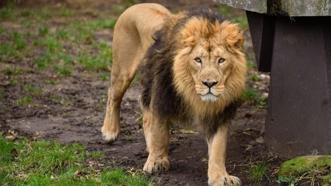 Escaped Lion Kills 22-Year-Old Intern at North Carolina Zoo