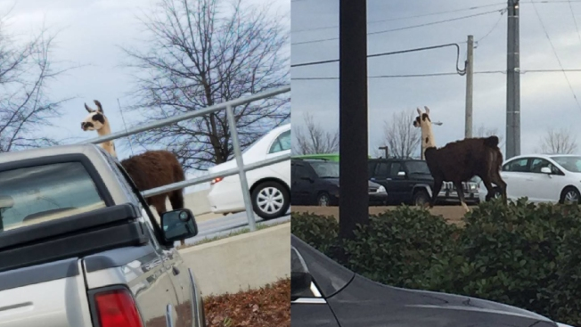 Llama Runs Free on Roads Near Athens, Georgia