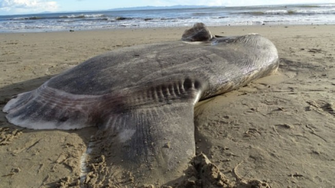 Cue the X Files Music: Rare Fish Never Seen in Northern Hemisphere Washes Up in Santa Barbara