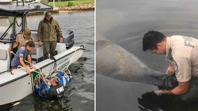 Wildlife Officials Rescue Manatee Exposed to Red Tide