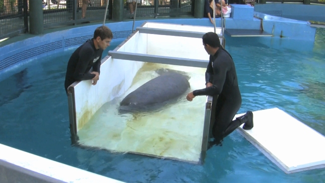 Rescued Manatees Return to Florida to be Released Into Wild