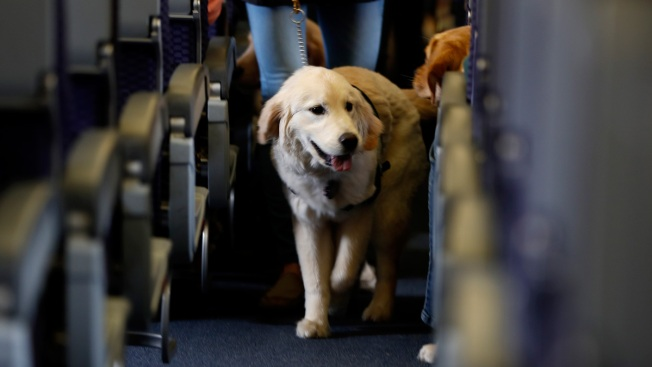 Crackdown on emotional support animals after pet flights take off