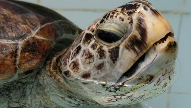 Thailand's Coin-Eating Turtle Dies of Intestinal Blockage