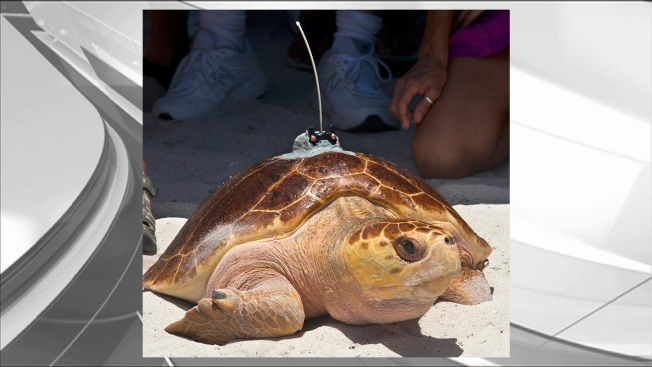 Rehabbed Turtle Released in Keys With Satellite Tracker