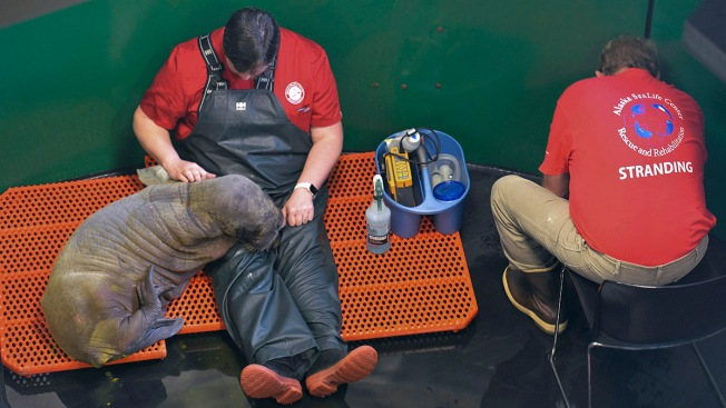 Rx for Orphan Walrus Calf: Touch, Massage, Cuddle, Repeat