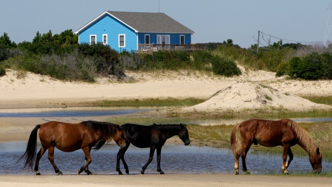 North Carolina's Wild Horses Expected to Survive Hurricane