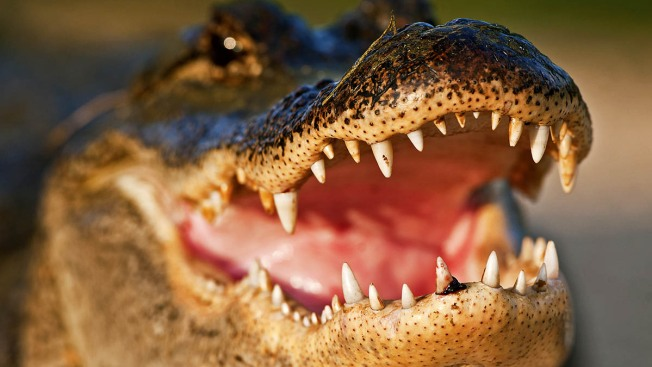 Gator Bites Sheriff's Office Cadet During Training