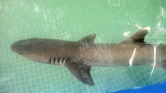 Used in Commercial, Shark Dies After Being Filmed in Backyard Pool