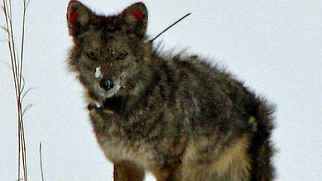Coyotes Attack Man and His 2 Small Dogs in Ocala
