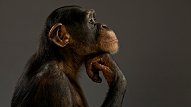 Is a Chimp Legally a Person? Manhattan Court Asked to Decide