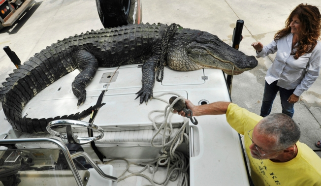 13-Foot, 6-Inch Alligator Captured in North Florida