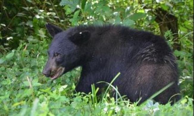 Bear Returns to Panama City After Being Relocated