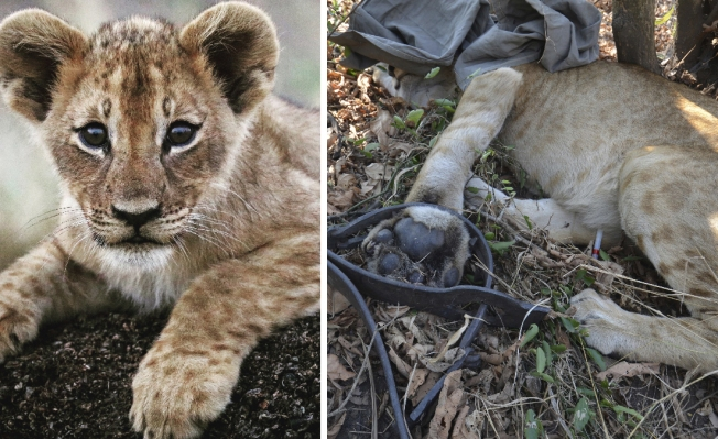 Maimed Lions Show Challenges of Recovery in African Park