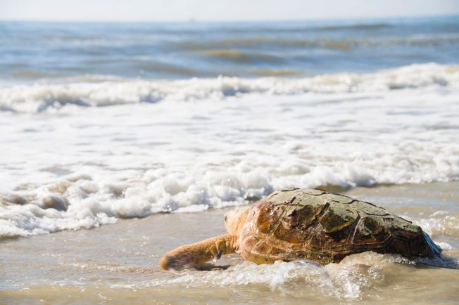 Two Loggerhead Sea Turtles Released Into Wild