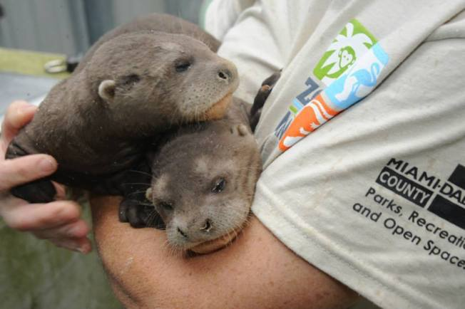 2 Giant Otter Pups Born at Zoo Miami