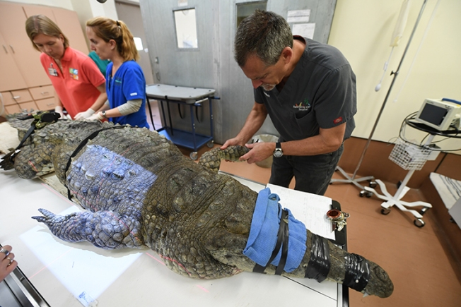 10-Foot, 400-Pound Endangered Crocodile Undergoes Surgery at Zoo Miami