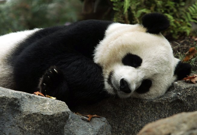 National Zoo Temporarily Closing Part of Panda House Amid Suspicions Panda Is Pregnant