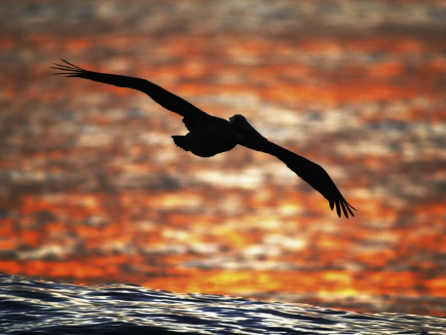 Audubon Urges People to Protect Beach Birds