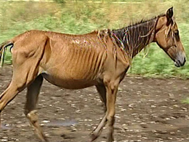 Cops Bust Owner of Malnourished Horses