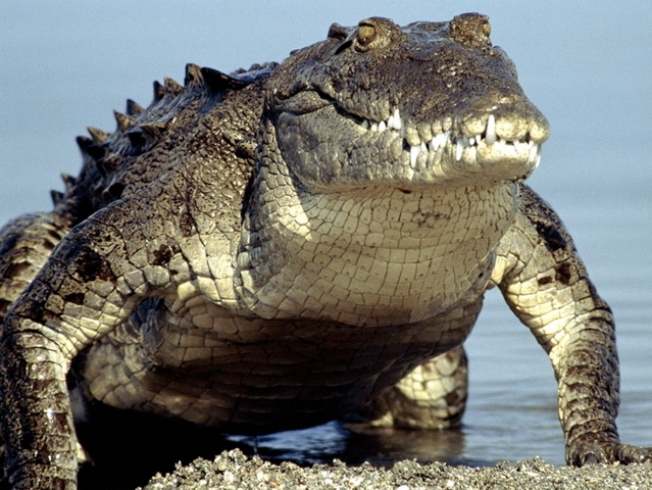 Islamorada Mayor Wants Crocodiles Removed from Areas With People