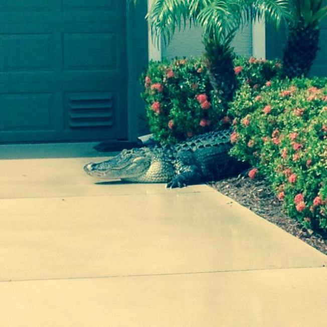 Massive Alligator Makes Appearance in Florida Neighborhood