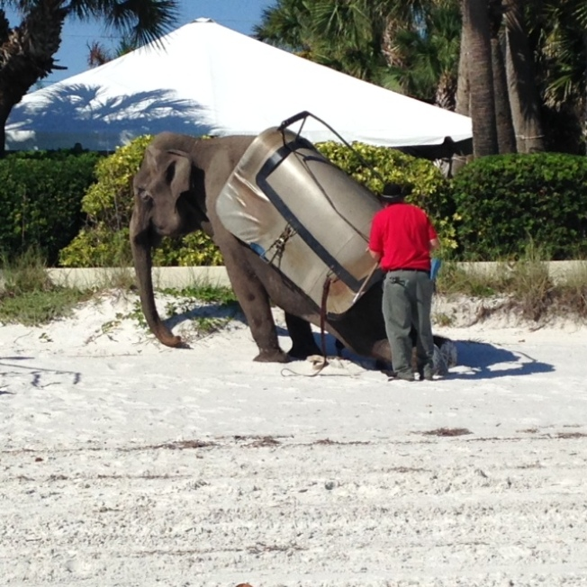 Jumbo Sighting on the Beaches of Florida