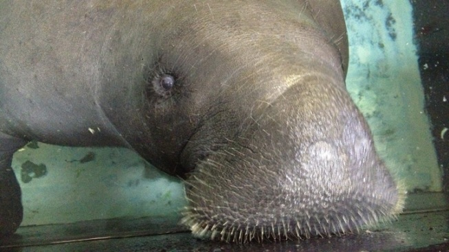 2013 a Deadly Year for Manatees in Florida