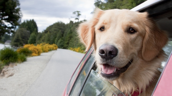 Most Dog Harnesses for Cars Unsafe, Study Finds