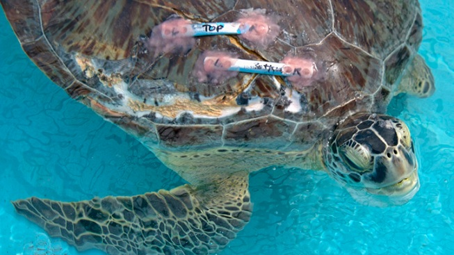 Ailing Sea Turtle Taken Gets Advanced Scans
