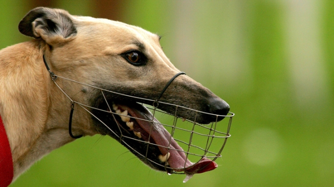 Florida Now Requires Tracks to Report Greyhound Deaths