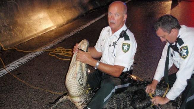 Pinellas County Sheriff's Deputy Wrestled Alligator, Tied It