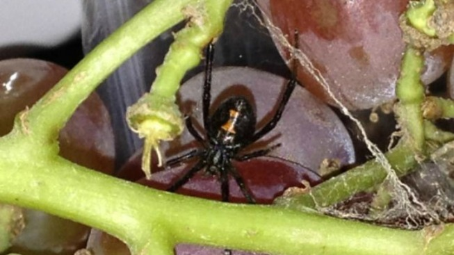 Black Widow Spider Found in Bag of Grapes