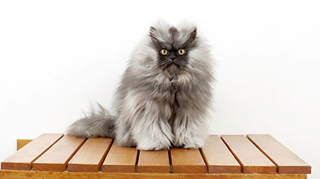 Internet Cat Star Colonel Meow is Seriously Ill