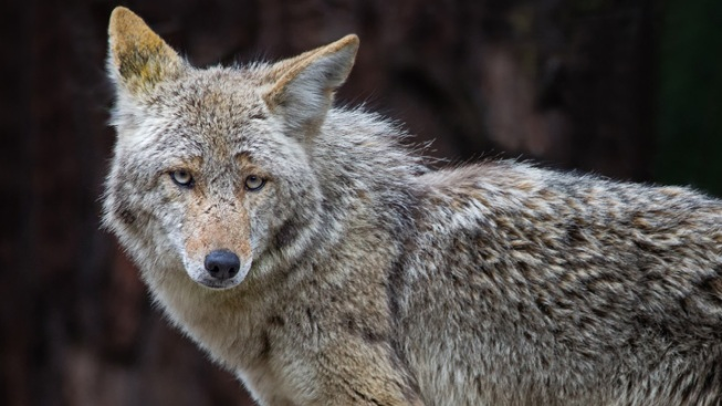 Woman Attacked By Coyote In Brevard County Nbc 6 South
