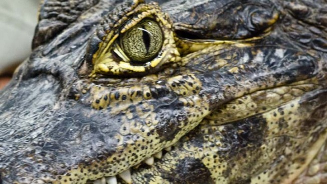 Crocodile Relocated After Laying Eggs in Florida Keys Yard