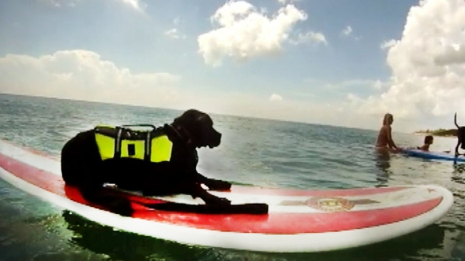 Dog Surfing Championship Held in Cocoa Beach