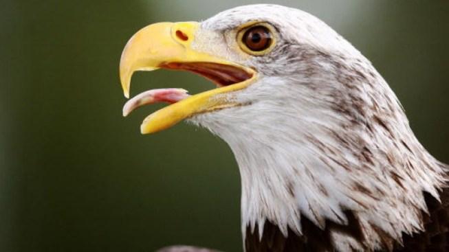 Bald Eagle Chick Returned to Parents in Florida Refuge