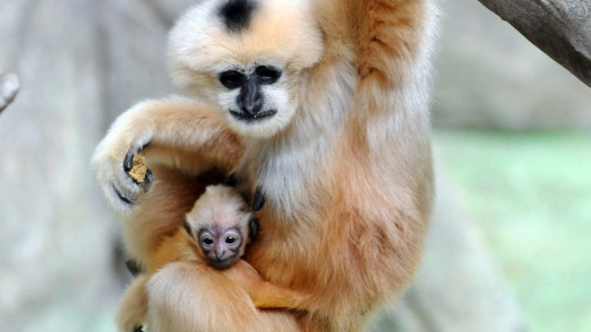 Gibbon Found Dead at Gainesville Zoo