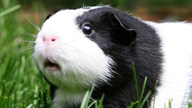 Student Wins $40,000 Settlement over Guinea Pig