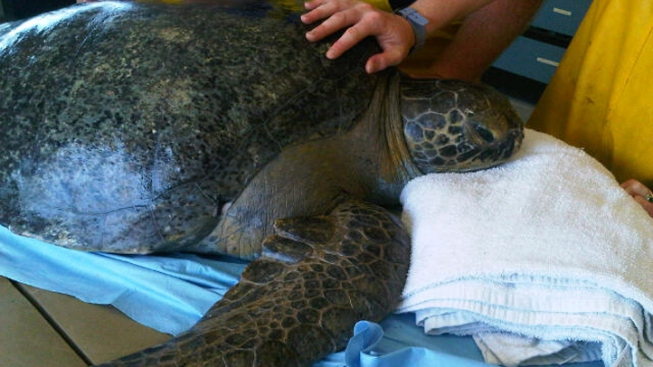 Sea Turtle Hospital Expected to Open in Florida