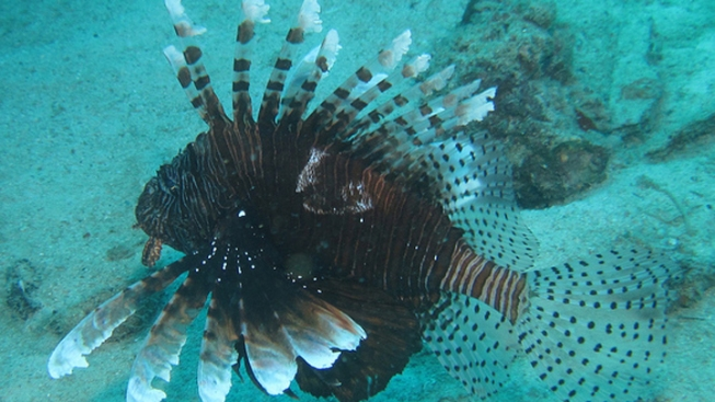 The Florida Fish and Wildlife Conservation Commission Kicks Off Lionfish Photo Contest