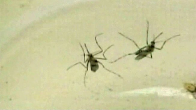 Mosquito-Borne Virus Spreading in Caribbean