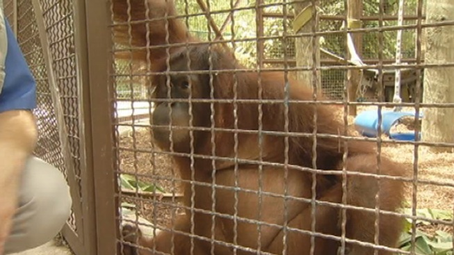 Peanut the Orangutan Doing Well a Year After Lymphoma Diagnosis