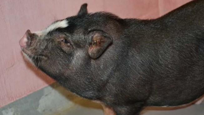 Pot-Bellied Pig Needs A Home