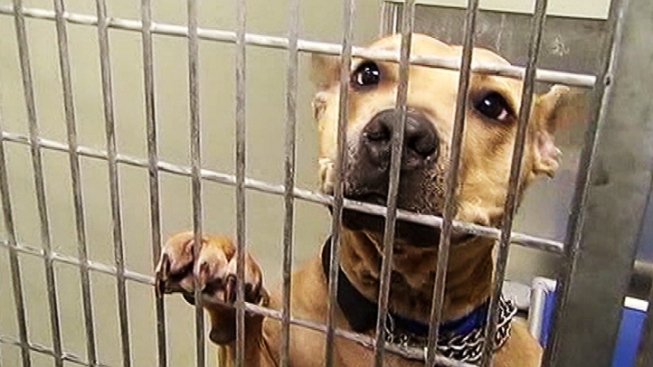 Broward County Pit Bull Ban Question of the Day