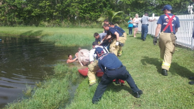 Fire Rescue Saves 900-Pound Pig From Pond